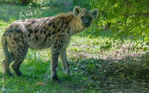 In de dag Hyena Spotted Hyena Standing in a Grassy Field