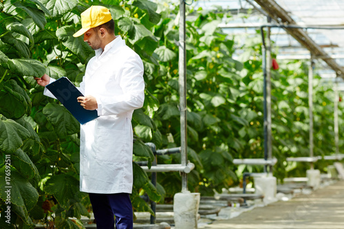 Photo Young agro-engineer looking at foliage of cucumber plants while making research