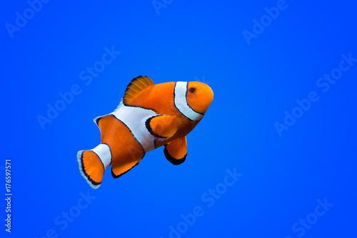 Foto Amphiprioninae clown fish on deep blue sea color background
