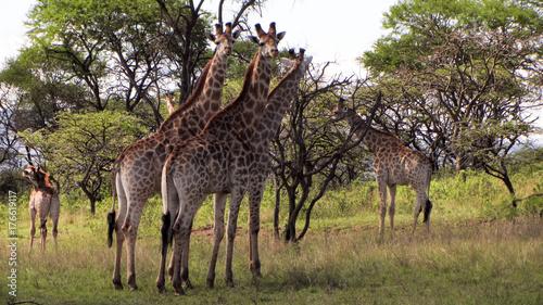 Obraz na płótnie Żyrafy w dzikim zbliżeniu