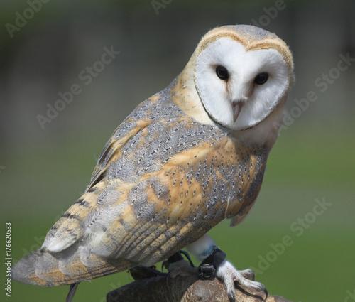 Falconer's barn owl (Tyto alba) Fototapete