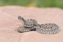 Macro Of Wild Baby Prairie Rattlesnake (Crotalus Viridis) On Red Rock In Colorado