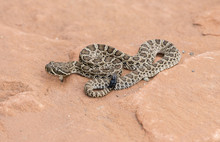 Macro Of Wild Baby Prairie Rattlesnake (Crotalus Viridis) On Red Rock In Colorado