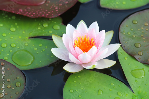 Photo Stands Water lilies beautiful lotus flowers or waterlily in pond.