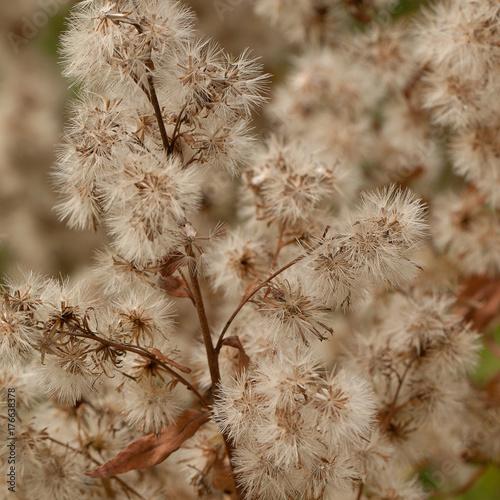 Fotografie, Obraz  wild plant with fluffy seeds
