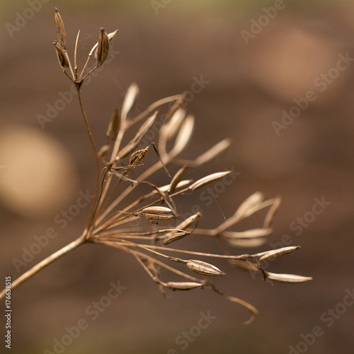 Valokuva seeds of an umbelliferous dry plant on an autumn brown abstract background