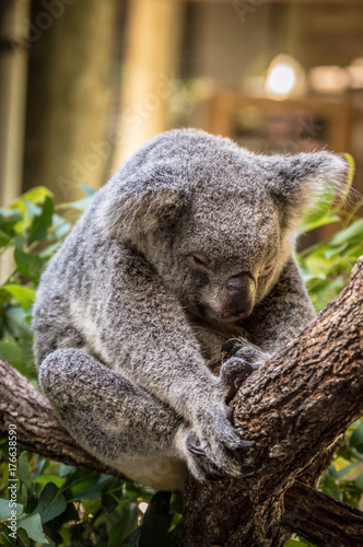 Garden Poster Koala Sleeping Domestic Koala at Wildlife Sanctuary in Cairnes, Australia