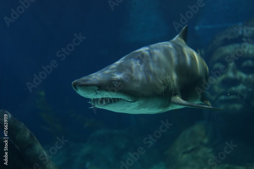 Sand Tiger Shark swimming in the tank of the aquarium. It has many sharp teeth to the creeps.