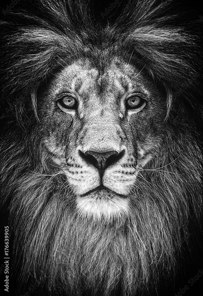 Fototapeta Portrait of a Beautiful lion, lion in dark