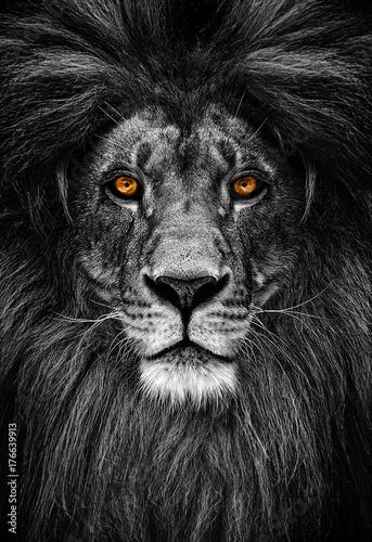 Foto-Lamellenvorhang - Portrait of a Beautiful lion, lion in dark (von Baranov)