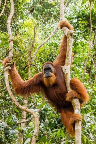 A large, wild male Orangutan in the Sumatran rainforest Fotomurales