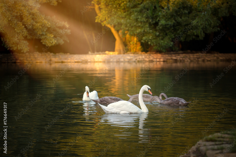 White and grey swans floating on the pond with the dark green water on the trees background in the morning shine light