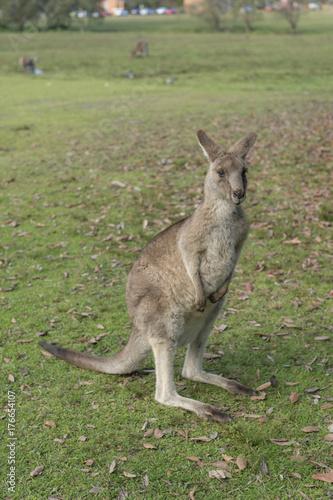 Photo Stands Kangaroo Wild Kangaroo in Australia