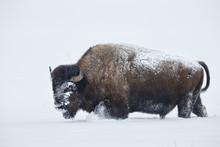 American Bison Walking In Deep...