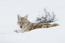 Coyote Eating And Chewing On A Prey In The Snow At Yellowstone National Park