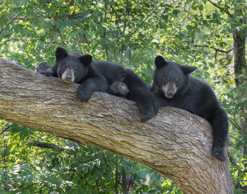 Photographie Black Bear cubs in tree