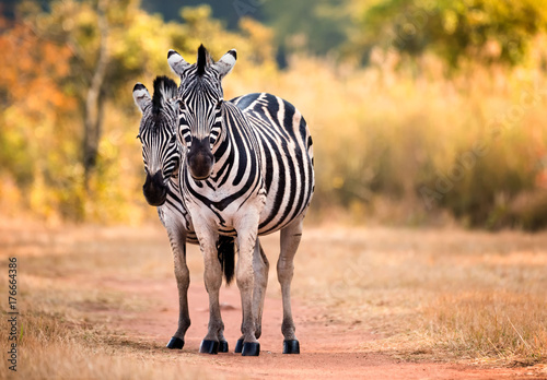 Aluminium Prints Zebra Pair of staring Zebra on a woodland path woodland. Swaziland