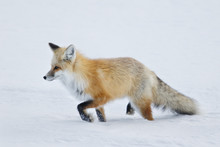 Red Fox Walking Through Deep Snow Near The Madison River In Yellowstone National Park