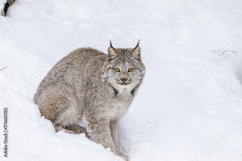 Foto auf Leinwand Luchs Bobcat In The Snow
