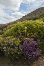 Ling, Cross Leaved Heather And...