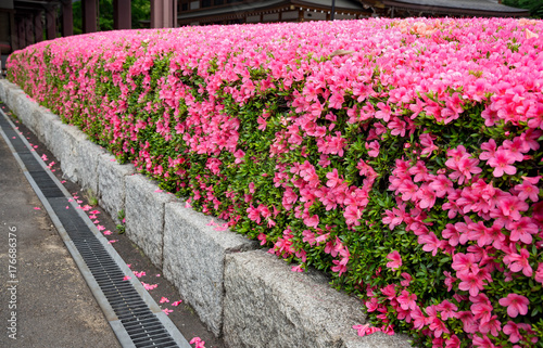 The beautiful pink Shibazakura in the garden at Tokyo, Japan