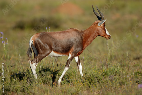 Foto op Canvas Antilope A blesbok antelope (Damaliscus pygargus) in natural habitat, South Africa.