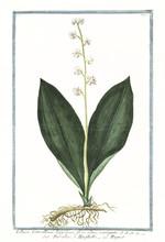 Old Botanical Illustration Of Lilium Convallium Latifolium. By G. Bonelli On Hortus Romanus, Publ. N. Martelli, Rome, 1772 – 93