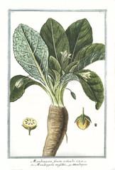 Plakat Old botanical illustration of Mandragora fructu rotundo. By G. Bonelli on Hortus Romanus, publ. N. Martelli, Rome, 1772 – 93