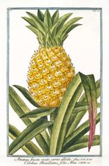 Plakat Old botanical illustration of Ananas fructu ovato (Ananas vomosus). By G. Bonelli on Hortus Romanus, publ. N. Martelli, Rome, 1772 – 93