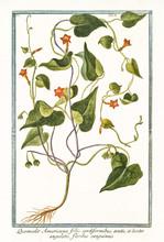 Old Botanical Illustration Of Quamoclit Americana (Ipomoea Hederifolia). By G. Bonelli On Hortus Romanus, Publ. N. Martelli, Rome, 1772 – 93