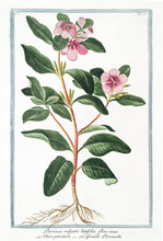 Old Botanical Illustration Of ...