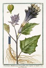 Plakat Old botanical illustration of Stramonium malabricum (Datura stramonium). By G. Bonelli on Hortus Romanus, publ. N. Martelli, Rome, 1772 – 93