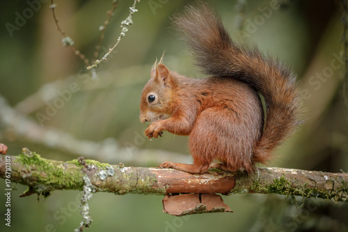 Poster Squirrel Adorable red squirrel