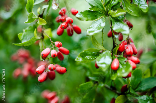 Natural green leaves branch of ripe red barberry after a rain with drops of wate Wallpaper Mural