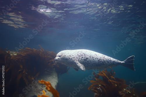 seal underwater photo in wild nature Poster