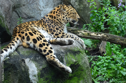 Photo  Amur Leopard