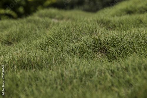 Fotografía  Bumpy green zoysia creeping grass leaves background closeup