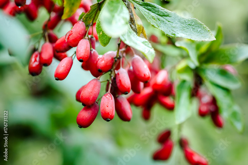 Photo Branch of ripe red barberry after a rain with drops of water