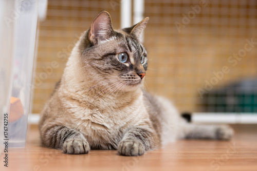 Fotografie, Obraz  big fluffy cat with blue eyes lies on the floor
