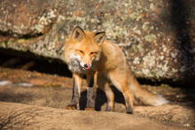 Young Red Fox Licks His Lips