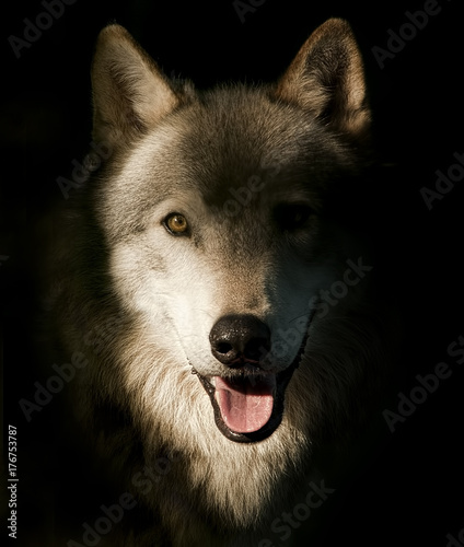 Alpha Female Timber Wolf Portrait - Buy this stock photo and