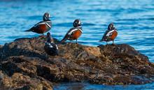 Harlequin Ducks , Histrionicus...