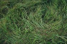 Green Grass Texture, Background. Wheatgrass.