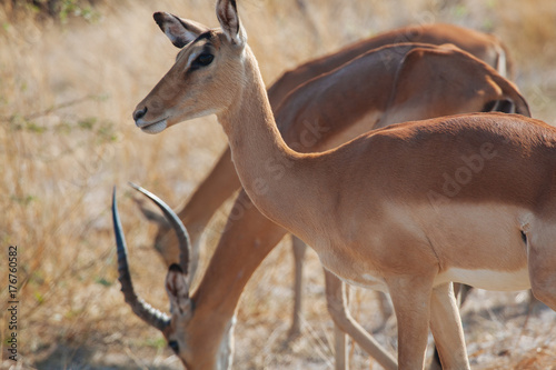 Foto op Canvas Antilope Antelope in Nature