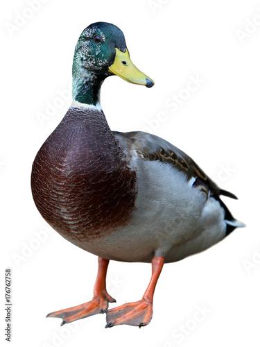 Mallard Duck with clipping path. Wall mural
