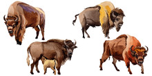 Exotic Bison Wild Animal In A ...