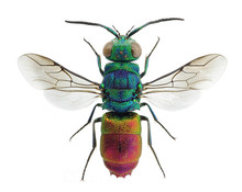 Beautiful Cuckoo Wasp Chrysis ...