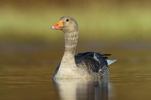 Greylag Goose (Anser Anser) On Water