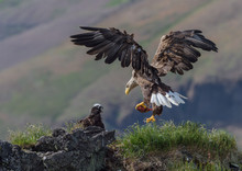 White-tailed Eagle (Haliaeetus Albicilla) Landing In A Nest In Iceland