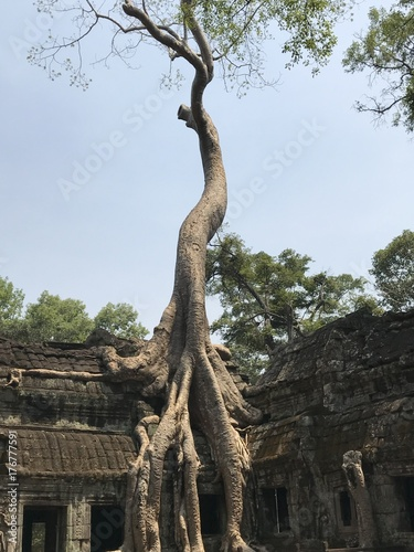 фотография  Ta Prohm tree